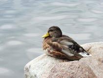 Beautiful duck bird on stone, Lithuania stock photos
