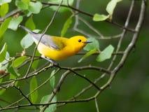 Prothonotary Warbler during nesting season Royalty Free Stock Photo