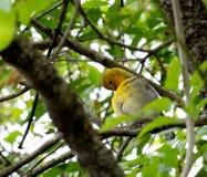 Prothonotary Warbler during nesting season Royalty Free Stock Image