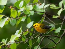 Prothonotary Warbler during nesting season Stock Photography