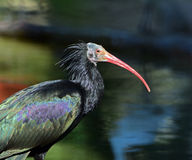 One Northern bald Ibis. Is standing in the water stock photography