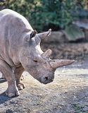 Northern White rhinoceros, Ceratotherium simum cottoni, today only the last two rhinos. One Northern White rhinoceros, Ceratotherium simum cottoni, today only Stock Photography