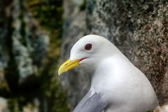 Portrait of Seagull - Kittiwake. One of northernmost colonies of sea birds on Franz Josef Land near North Pole. Plot rookery, nests of Kittiwake - portrait of Stock Photo