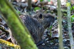 One nutria coypu myocastor coypus hidden in covert. One natural nutria coypu myocastor coypus hidden in covert Royalty Free Stock Images