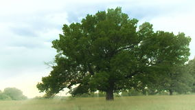 One oak tree on the green hill stock video