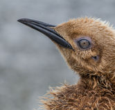 One Oakum boy portrait, year old king penguin, still with baby feathers Stock Images