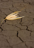 One oat corn on eroded land. Single oat grain on waterless soil background Royalty Free Stock Image