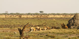 One Of The Big Five Pride Of Lions Royalty Free Stock Photo