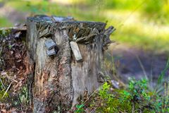 One old stump in the foreground. One old destroyed tree stump closeup in the foreground and against the background of indistinct Royalty Free Stock Photo