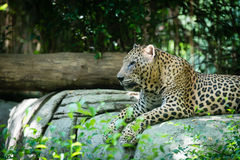 One old spotted Leopard laying in the jungle Royalty Free Stock Images