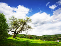 One old tree Royalty Free Stock Images
