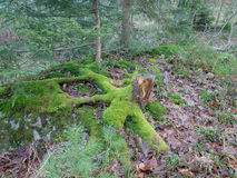 One old tree stump with moss Stock Photography