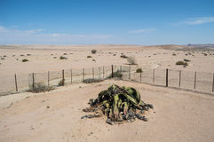 One of the Oldest Welwitschia mirahilis plants in the World Royalty Free Stock Image