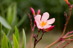 One oleander blossom in the garden Royalty Free Stock Image