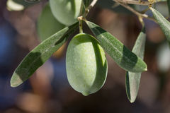 One olive on a branch Royalty Free Stock Photo