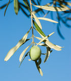 One olive fruit Royalty Free Stock Image