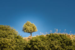 One olive tree Royalty Free Stock Photos
