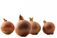 One onion in front of some other. Onions on white background Royalty Free Stock Photo