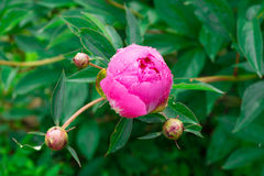 One opening bud of a pink peony flower with a drop of water on Stock Photo