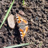 One orange butterfly Aglais urticae on the ground. In a sunny day royalty free stock image