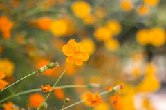One orange Cosmos flower standing out. Against blurred background of flowers stock image