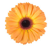 One orange flower Royalty Free Stock Photo