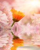 One orange flower against pink flowers with reflection in water. Beautiful flower is in the rays of light, blured and colored Royalty Free Stock Photos