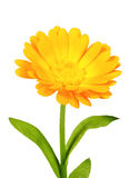 One orange flower of calendula Royalty Free Stock Image