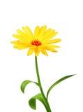 One orange flower of calendula Royalty Free Stock Image