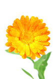 One orange flower of calendula Royalty Free Stock Photography