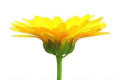 One orange flower of calendula Stock Photo