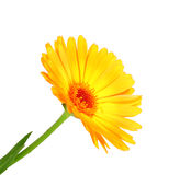 One orange flower of calendula Stock Photos