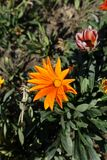 One orange flower of gazania rigens. One bright orange flower of gazania rigens Stock Photo