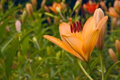 One orange flower lily with bud on grass floral bright background with empty copy space. royalty free stock photos