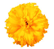One orange flower of marigold Royalty Free Stock Photos