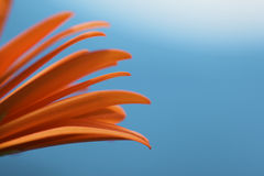One orange gerbera flower with a blue background royalty free stock photo