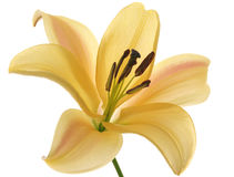 One orange lilies Stock Photo