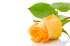 One orange rose Royalty Free Stock Image