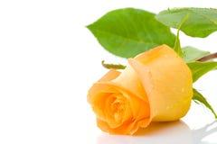Free One Orange Rose Royalty Free Stock Image - 5790516