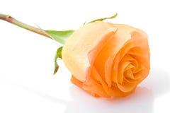 One orange rose flower closeup. One bud orange rose flower closeup with white background royalty free stock images