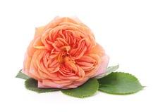 One orange rose royalty free stock image