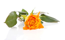 One orange roses over white background Royalty Free Stock Photo