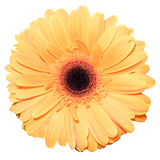 One orange transvaal daisy flower isolated in white. Background royalty free stock photo