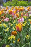 One orange tulip with some other flowers. In the day in spring royalty free stock photos