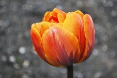 One orange tulip in the spring in the garden Stock Photo