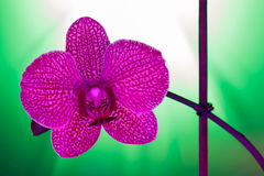 One orchid flower against a green background Royalty Free Stock Images