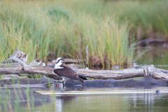 Osprey and Trout. One Osperey with a large Rainbow Trout inext to log with green background stock photography
