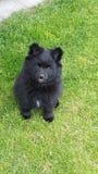 Pomeranian Pup Stock Images