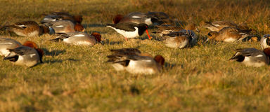 One oystercatcher in a group. Of ducks Royalty Free Stock Photography