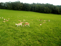 One pack of antelopes Stock Image